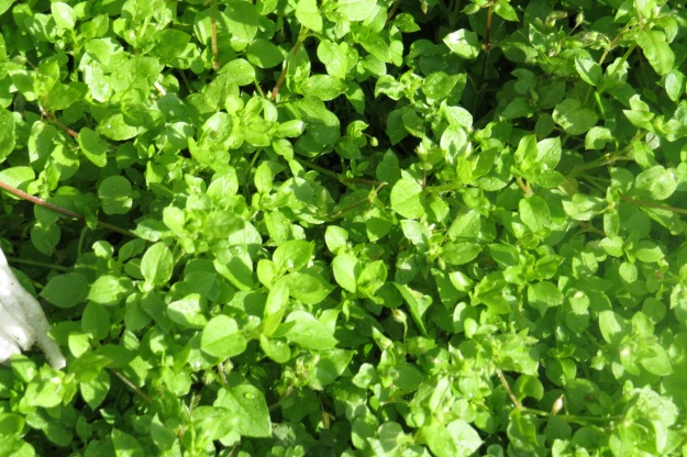 Chickweed 2 BP