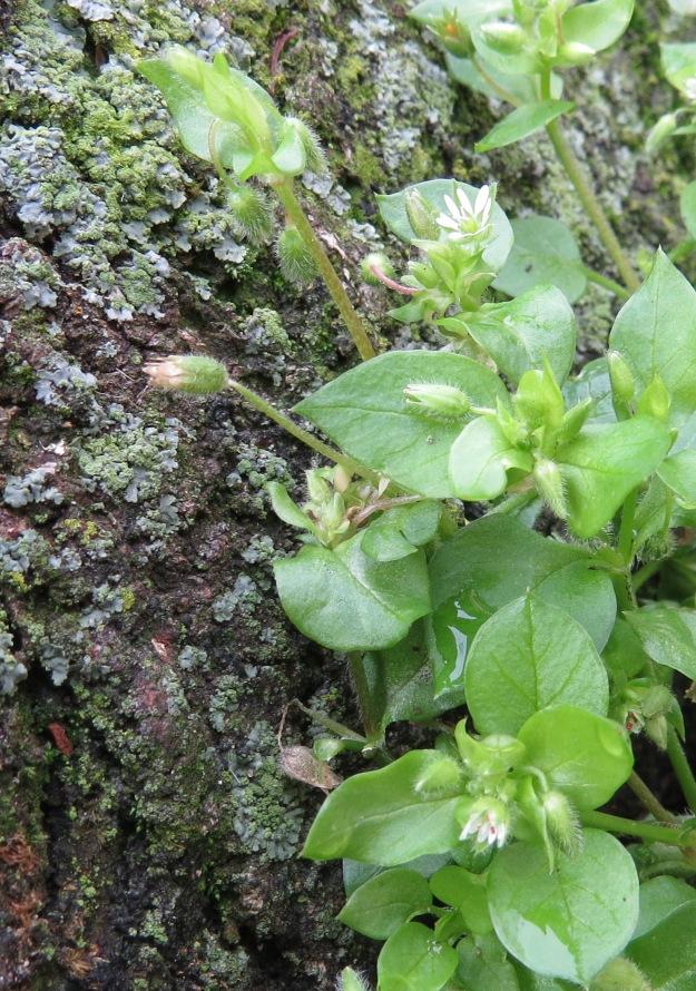 Chickweed Flower BP