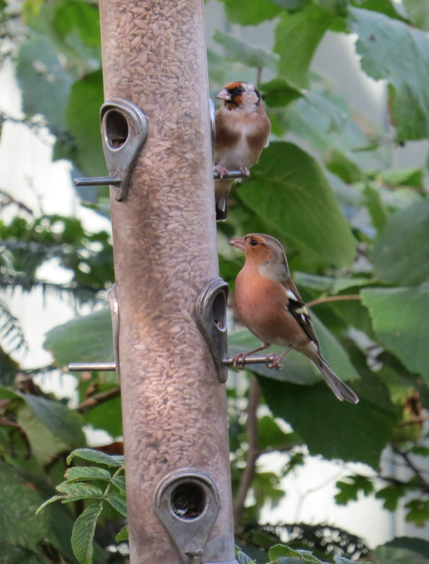 Goldfinch and Chaffinch 3 BP
