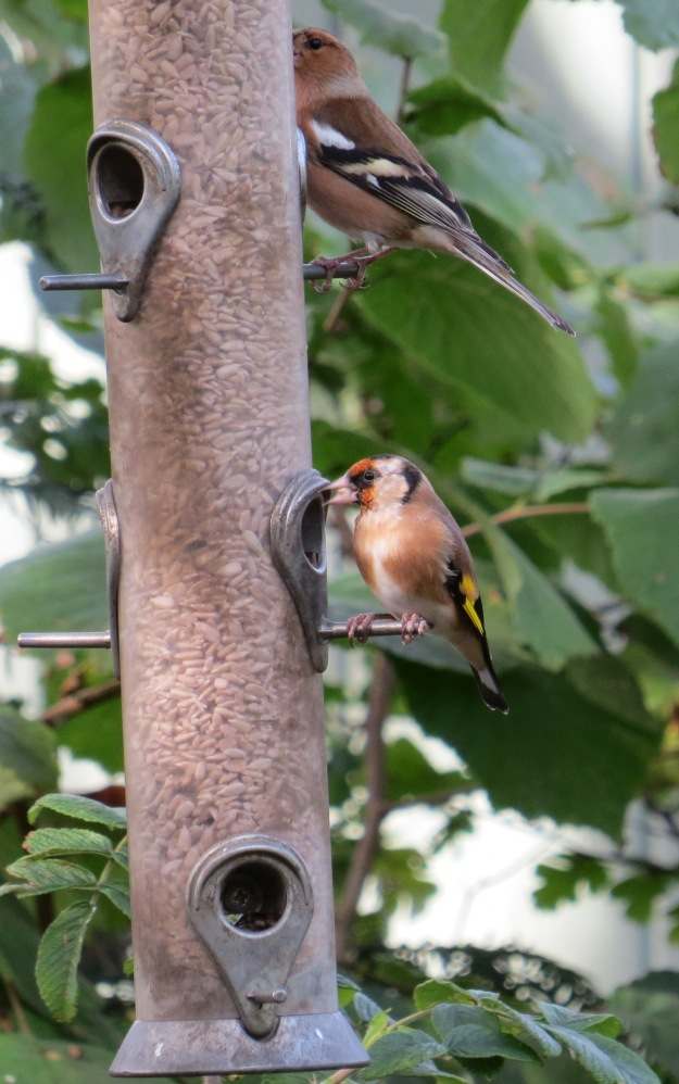 Goldfinch and Male Chaffinch BP