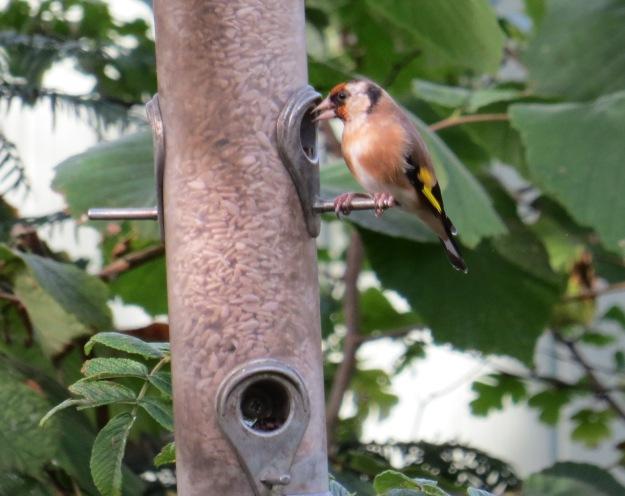 Goldfinch BP
