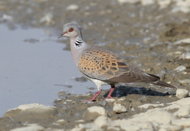 Turtle Dove (Streptopelia turtur) By Andrej Chudy (Flickr) [CC-BY-2.0 (http://creativecommons.org/licenses/by/2.0)], via Wikimedia Commons