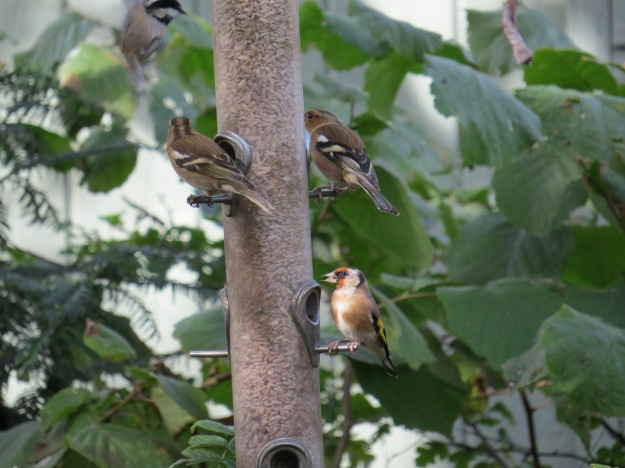 Female Chaffinch (top left), Male Chaffinch (top right) and Goldfinch (bottom right)