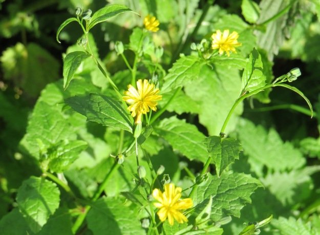 Nipplewort 4 bp