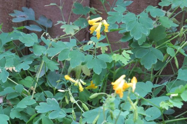 Yellow Corydalis (Pseudofumaria lutea)