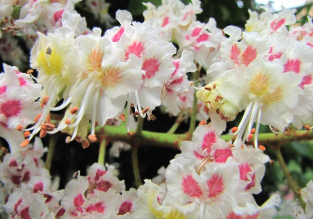 Horse Chestnut blossom (By William N. Beckon (Own work) [CC-BY-SA-3.0 (http://creativecommons.org/licenses/by-sa/3.0)], via Wikimedia Commons)