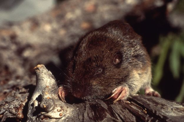 A pocket gopher (Yellowstone National Park; Gillian Bowser; 1990)
