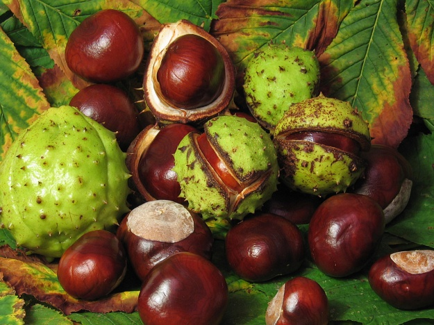 Conkers (By Solipsist (Own work) [CC-BY-SA-2.0 (http://creativecommons.org/licenses/by-sa/2.0)], via Wikimedia Commons)