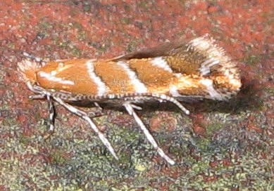 Adult of Cameraria ohridella. Taken by Soebe in Northern Germany and released under GNU FDL.
