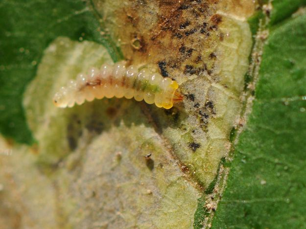 Horse Chestnut Leaf Miner Caterpillar (By Claude Debrauer (Own work) [CC-BY-SA-3.0 (http://creativecommons.org/licenses/by-sa/3.0)], via Wikimedia Commons)