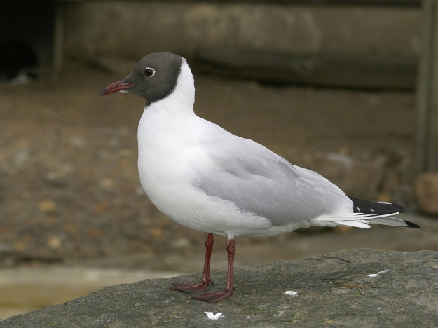 Black-headed Gull in Summer plumage (© Hans Hillewaert / , via Wikimedia Commons)