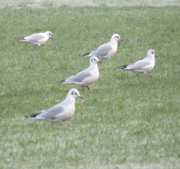 Gulls Crows Holly Coldfall Wood 015a