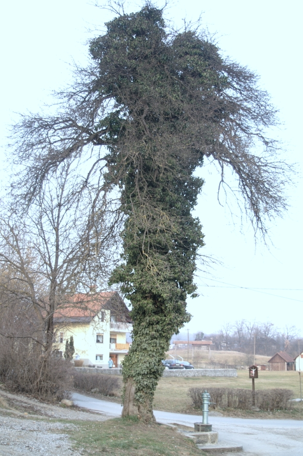 Ivy proliferating on a tree - photo by Benjamin Zwittnig under Slovenia Creative Commons licence 2.5