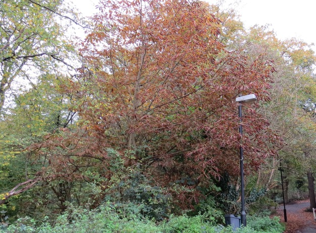 Horse Chestnut in Coldfall Wood