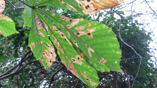 Leaf showing infestation by Horse Chestnut Leaf Miner