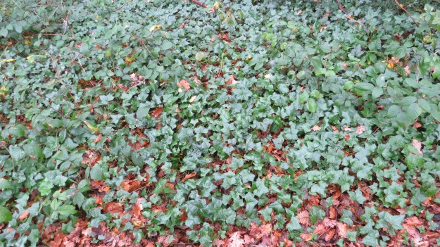 Ivy (Hedera helix)