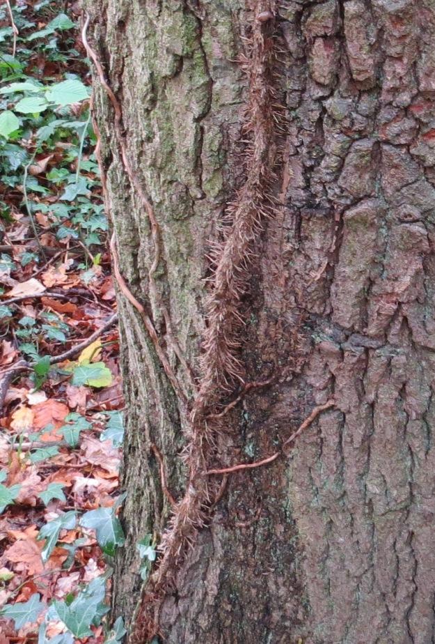 Ivy clambering upwards....
