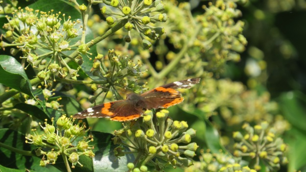 A different Red Admiral
