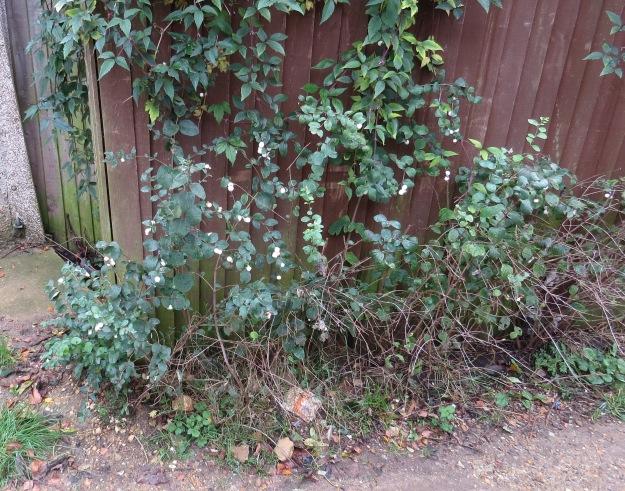Snowberry (Symphoricarpos albus)
