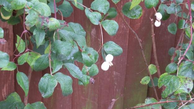 Snowberry 2