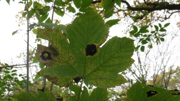 Sycamore (Acer pseudoplanatus) leaves with Tar Spot (Rhytisma acerinum) fungus
