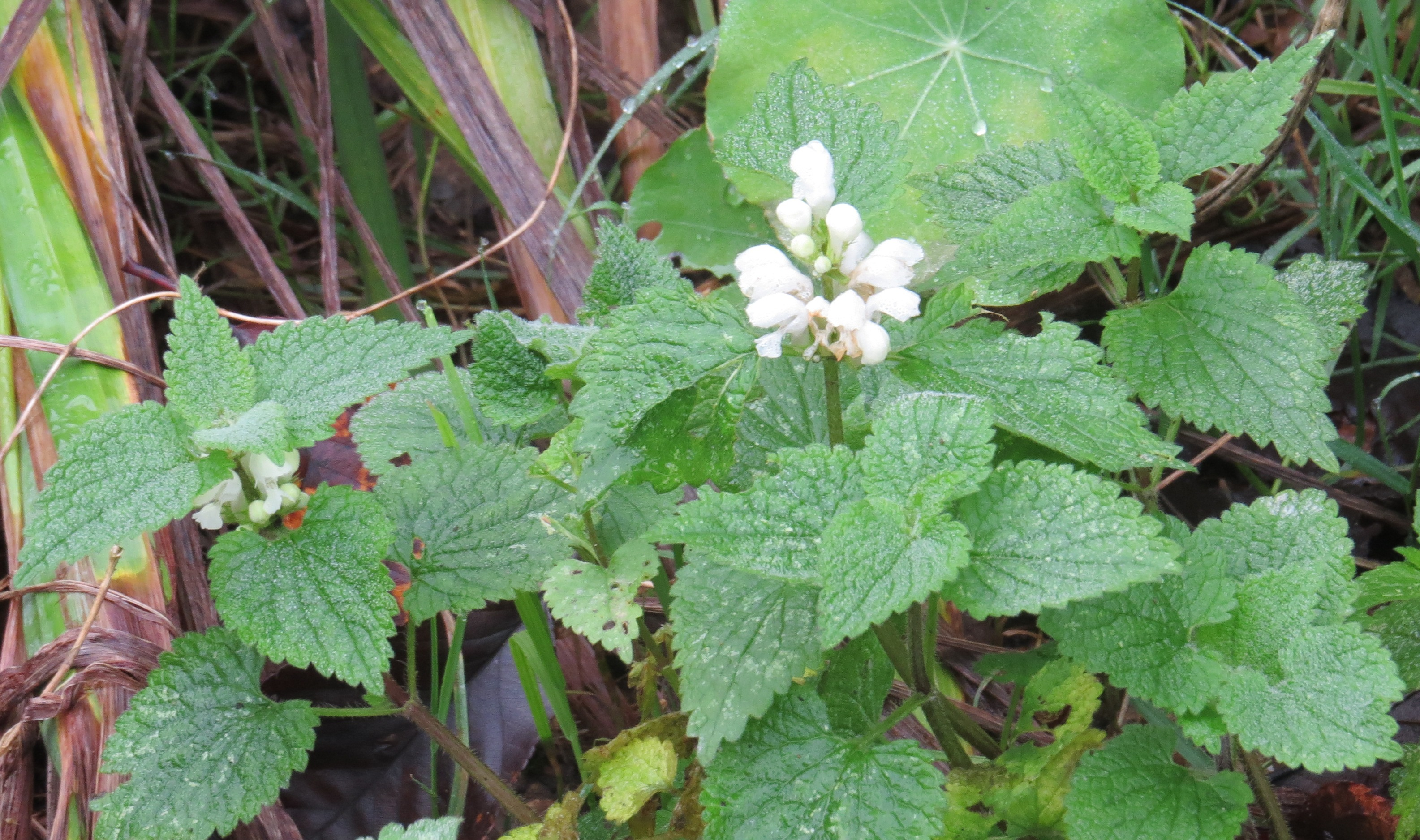 Wednesday Weed White Dead Nettle Bug Woman Adventures In London