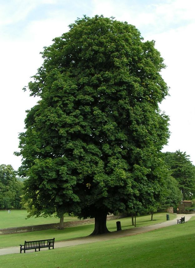 Horse Chestnut Tree (Sannse at the English language Wikipedia [GFDL (http://www.gnu.org/copyleft/fdl.html) or CC-BY-SA-3.0 (http://creativecommons.org/licenses/by-sa/3.0/)], via Wikimedia Commons)