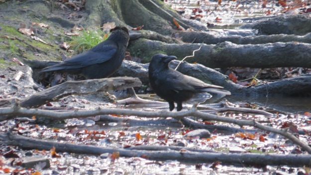 Crows 15