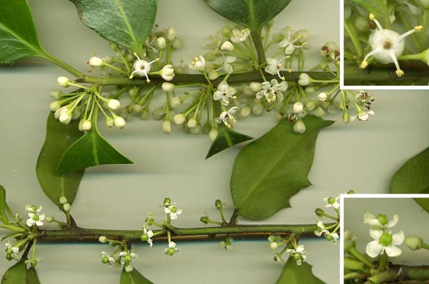 Here, the male Holly flowers are at the top, the female flowers (which will turn into berries) at the bottom. File courtesy of GB. Wiki.