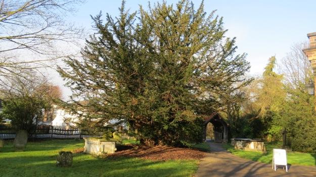 The Totteridge Yew