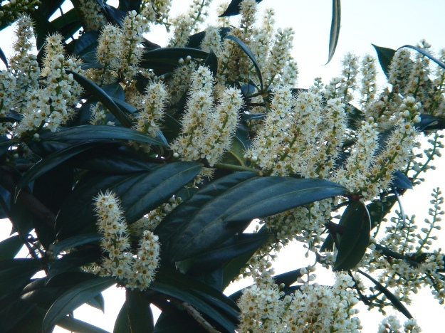 An ornamental Cherry Laurel with flower spikes (By Karduelis (Rize-Çayeli) [Public domain], via Wikimedia Commons)