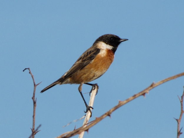 European Stonechat (Saxicola rubicola) (By Amurfalcon (Own work) [CC BY-SA 3.0 (http://creativecommons.org/licenses/by-sa/3.0) )