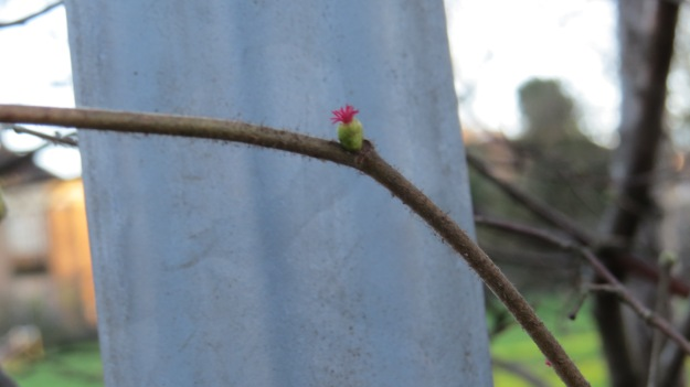 Female Hazel Catkin
