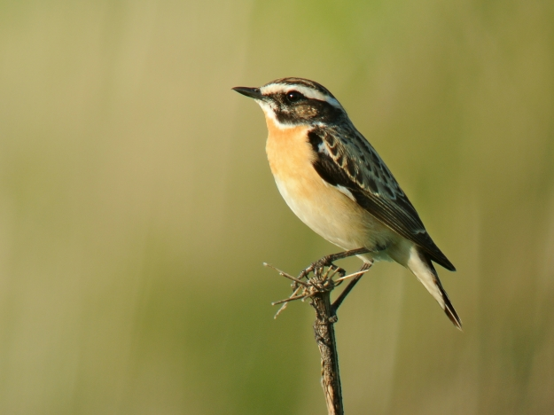 "Whinchat (Saxicola rubetra) (""Saxicola rubetra -Belgium -male-8"" by Frank Vassen from Brussels, Belgium - Braunkehlchen (Saxicola rubetra), Warchetal bei Hünningen, OstbelgienUploaded by snowmanradio. Licensed under CC BY 2.0 via Wikimedia Commons - http://commons.wikimedia.org/wiki/File:Saxicola_rubetra_-Belgium_-male-8.jpg#mediaviewer/File:Saxicola_rubetra_-Belgium_-male-8.jpg)"