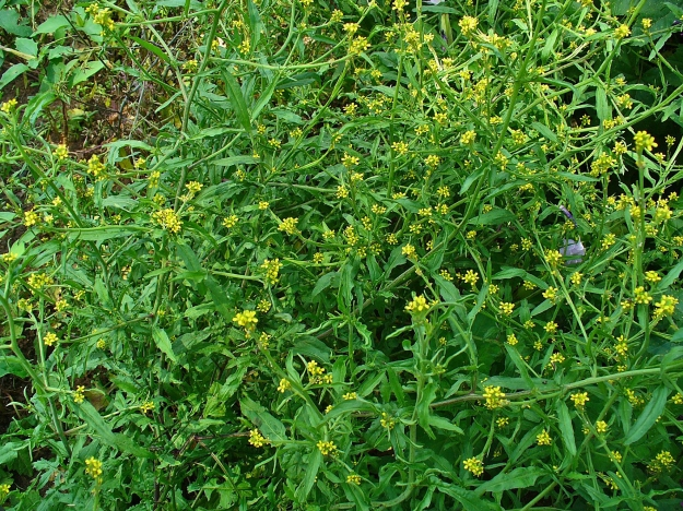 Hedge Mustard in flower (By H. Zell (Own work) [GFDL (http://www.gnu.org/copyleft/fdl.html) or CC BY-SA 3.0 (http://creativecommons.org/licenses/by-sa/3.0)], via Wikimedia Commons)