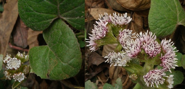 Winter Heliotrope (thanks to www. KlassimGarten.at)