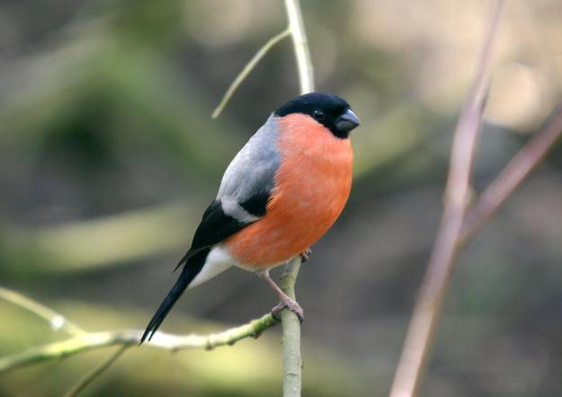 Male Bullfinch (By Mark S Jobling (Mjobling at English Wikipedia) (Transferred from en.wikipedia to Commons.) [Public domain], via Wikimedia Commons)
