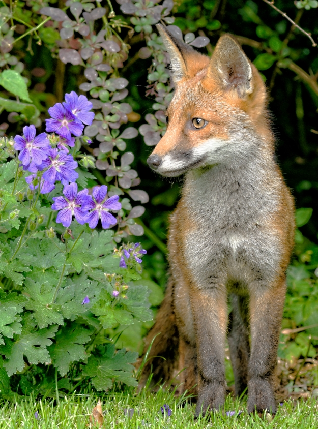 Fox and flowers hr_DxO