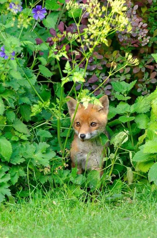 Fox cub HR