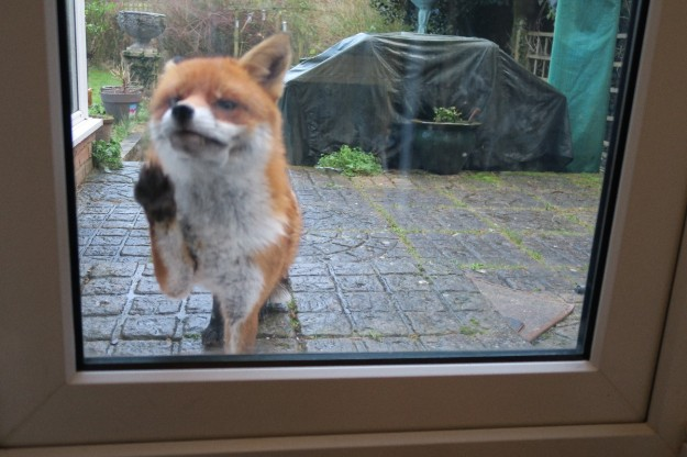 Fox knocking_1280x800