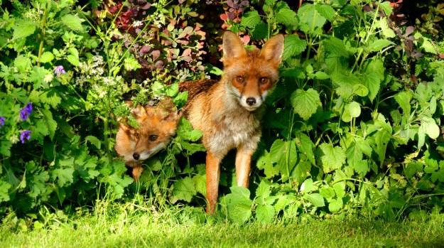 Foxes 2_edited-1_1280x800