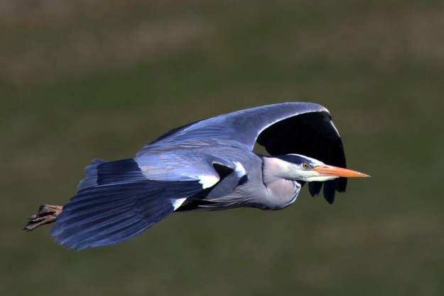 Grey Heron in flight (By Charlesjsharp (Own work) [CC BY-SA 3.0 (http://creativecommons.org/licenses/by-sa/3.0)], via Wikimedia Commons)