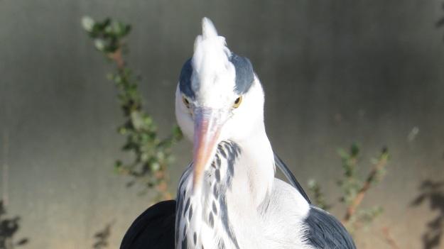 Heron Blog 13