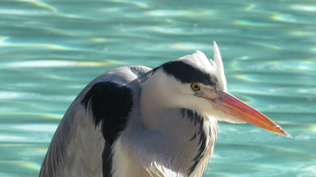 Grey Heron at London Zoo