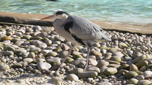 Heron Blog 18