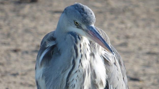 Young Grey Heron (Ardea cinerea)