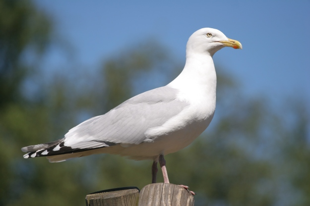 Adult Herring Gull (By Scottmliddell (Own work) [CC BY 3.0 (http://creativecommons.org/licenses/by/3.0)], via Wikimedia Commons)
