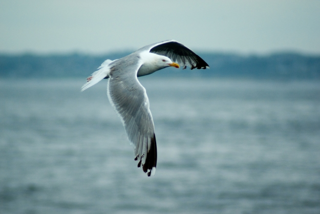 Herring Gull in flight (By JalilArfaoui (Own work) [CC BY-SA 3.0 (http://creativecommons.org/licenses/by-sa/3.0) or GFDL (http://www.gnu.org/copyleft/fdl.html)], via Wikimedia Commons)