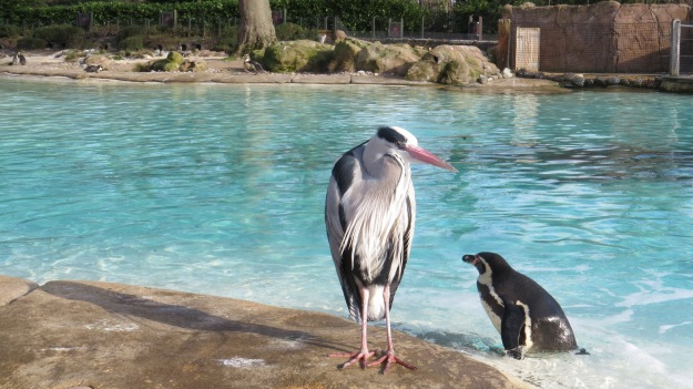Heron and Humboldt Penguin