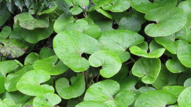Leaves of Winter Heliotrope (Petasites fragrans)